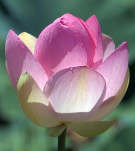 The Lotus Flower - Flower of Love