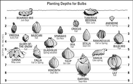 Check out this nifty guide for planting bulbs (how deep